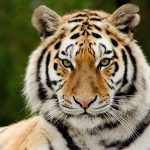 Short Essay On Tiger , Indian National Animal Essay ,Lines About Tiger , Paragraph On Tiger , Speech On Tiger , Short Note On Tiger , Tiger Essay , Essay On Tiger , Short Essay On Tiger , Hindi Essay On Tiger , English Essay On Tiger , Essay Tiger , Essay On Tiger – My Favorite Animal , Tiger Essay , Essay On National Animal Of India
